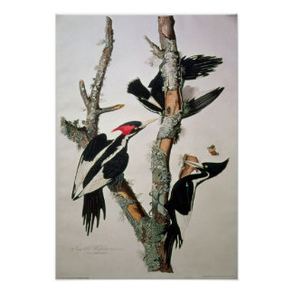 Ivory-billed Woodpecker, from 'Birds of America' Poster
