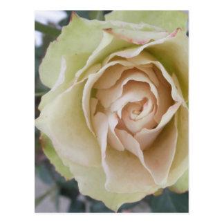 Ivory White Rose Flower Floral Photo Postcard