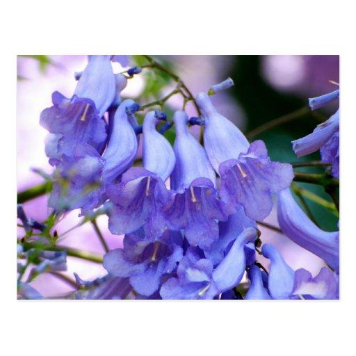 Jacaranda Blossoms Postcard