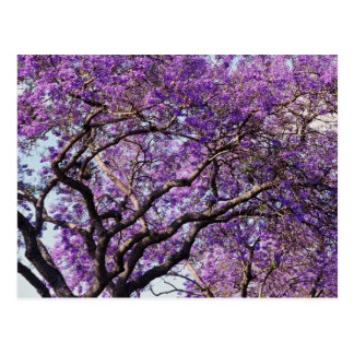 Jacaranda tree in spring bloom flowers postcard