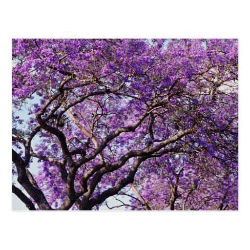 Jacaranda tree in spring bloom flowers post cards