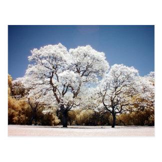 Jacaranda trees postcard