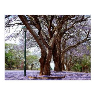Jacarandas Postcard