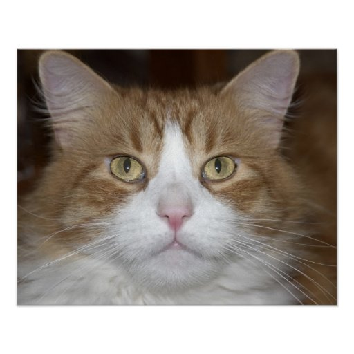 Jack domestic orange and white maine coon cat poster