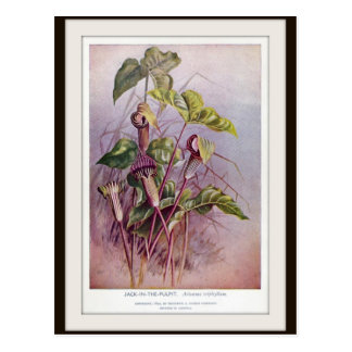 Jack-in-the-Pulpit Botanical Flower Postcard