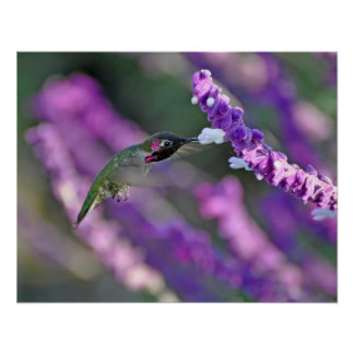 Jack London Male Anna's Hummingbird Print
