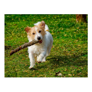 Jack Russel Terrier dog with stick photo Postcard