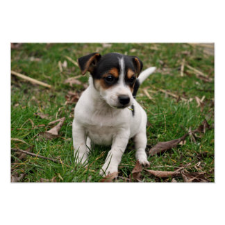 Jack Russell Perrier Puppy Poster #2