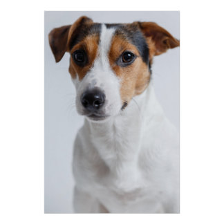Jack russell terrer poster