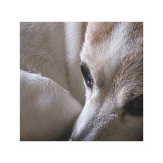 jack russell terrier curled canvas print