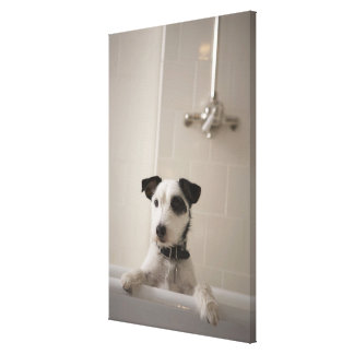 Jack russell terrier. gallery wrap canvas