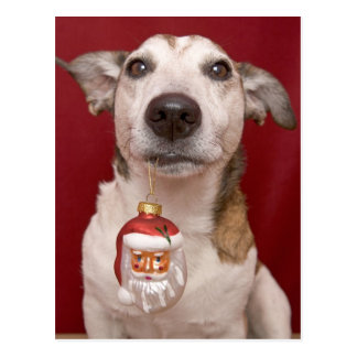 Jack Russell Terrier Holding Christmas Ornament Postcard