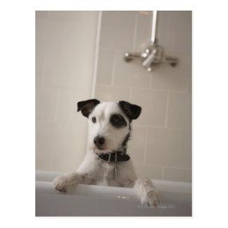 Jack russell terrier. postcard