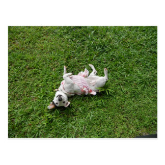 Jack Russell Terrier Postcards