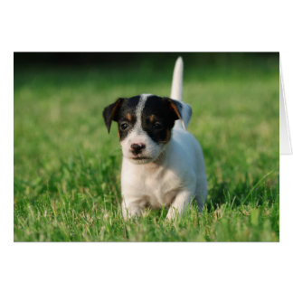 Jack Russell Terrier puppy Cards