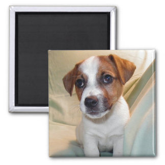 Jack Russell Terrier Puppy Magnet