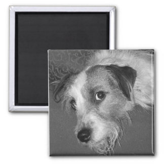 Jack Russell terrier Square Magnet