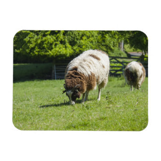 Jacob Sheep Grazing Rectangular Photo Magnet