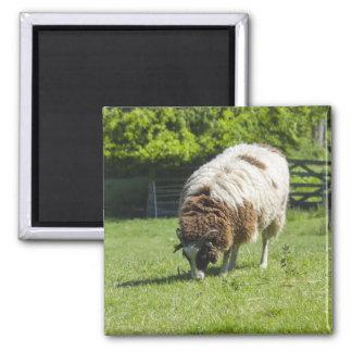 Jacob Sheep Grazing Square Magnet