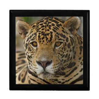 Jaguar feline portrait gift box