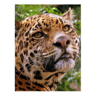 Jaguar Inquisitive Postcard