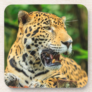 Jaguar shows its teeth, Belize Beverage Coasters