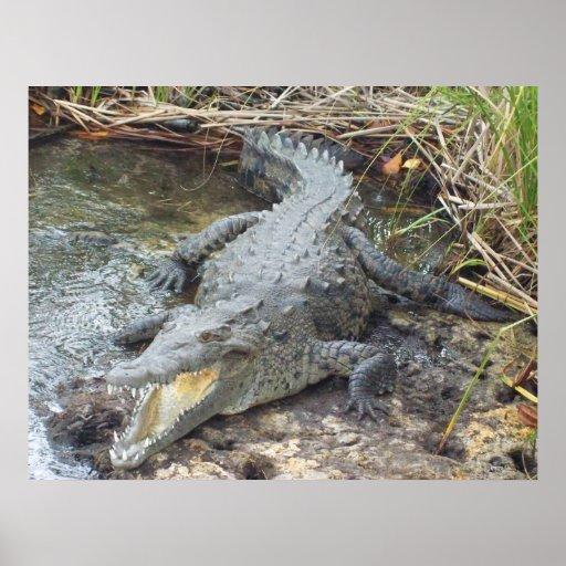 jamaican crocodile - photo #16