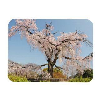 Japan, Kyoto. Weeping cherry tree under blue sky Rectangular Photo Magnet