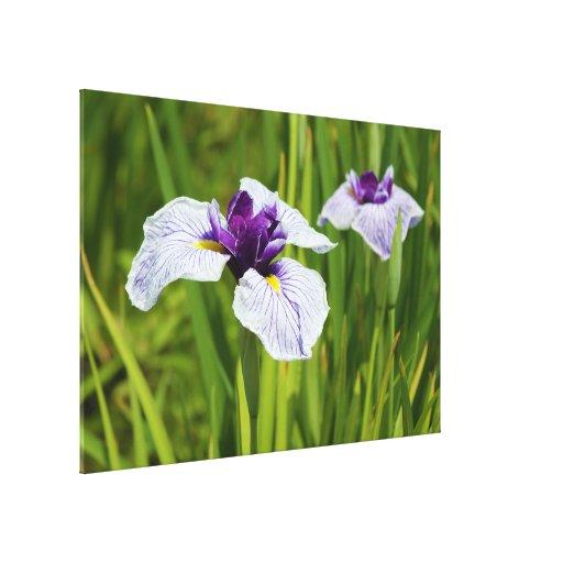 Japanese Iris Ensata Thunb Flowers Stretched Canvas Prints