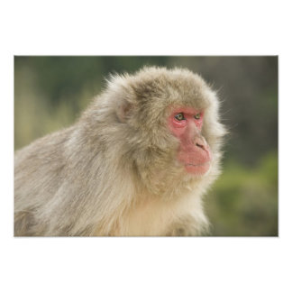 Japanese Macaque Macaca fuscata), also known Art Photo