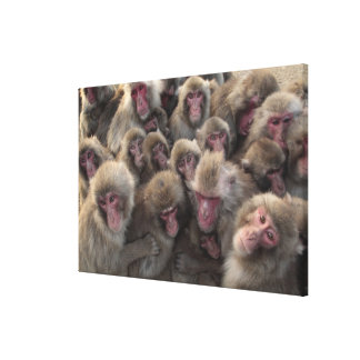 Japanese macaque (Macaca fuscata) huddled Gallery Wrap Canvas