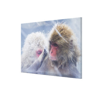 Japanese Macaques (Macaca fuscata) Grooming in Gallery Wrapped Canvas