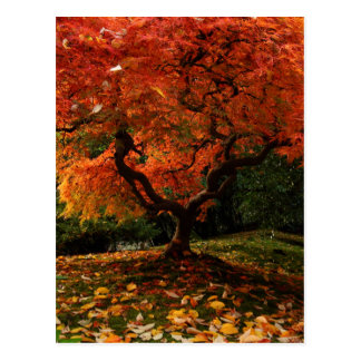 Japanese Maple in a Japanese Garden in Autumn Postcard