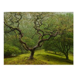 Japanese Maple in a Japanese Garden in Winter Fog Postcard