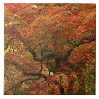 Japanese maple in fall color 4 large square tile