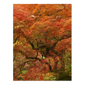 Japanese maple in fall color 4 postcard