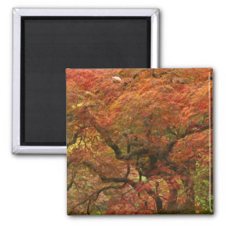 Japanese maple in fall color 4 square magnet