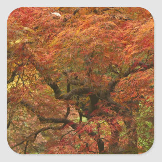 Japanese maple in fall color 4 square sticker