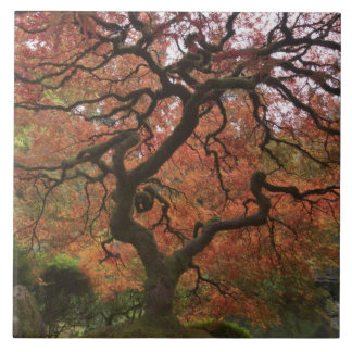 Japanese maple in fall color 5 large square tile