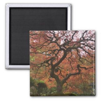 Japanese maple in fall color 5 square magnet