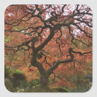 Japanese maple in fall color 5 square sticker