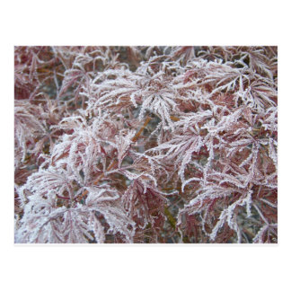 Japanese Maple in frost Postcards