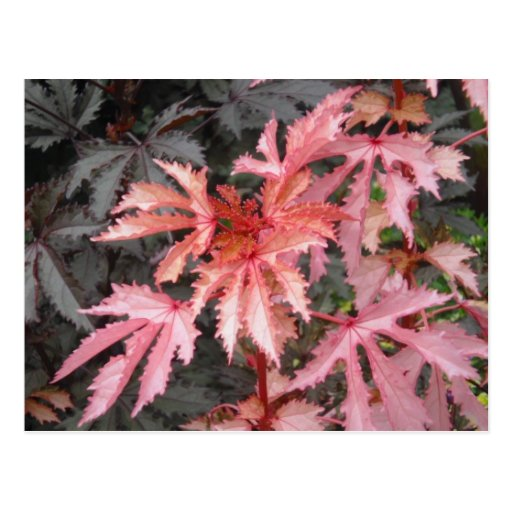 Japanese Maple Leaves Postcard