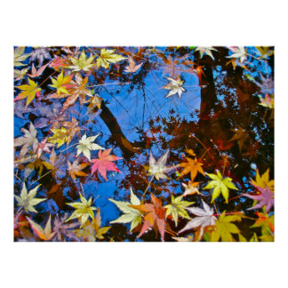 Japanese Maple Reflections Poster