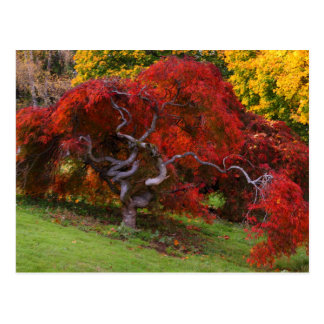 Japanese Maple Tree in Autumn Postcard