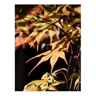 Japanese Maples (8) Postcard