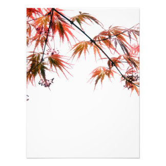 Japanese Red Maple Art Photography Photo
