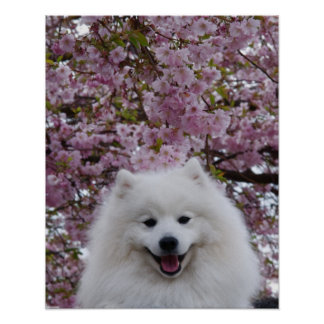 Japanese Spitz/American Eskimo Cherry Blossom Prin Posters