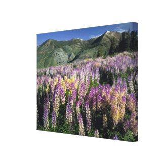 JARBIDGE WILDERNESS, NEVADA. USA. Spur lupine Gallery Wrap Canvas