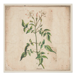 Jasmine Antique Botanical Print Poster
